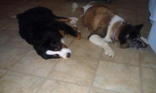 Rosie was with us nearly a year resting with our BMD, Charm